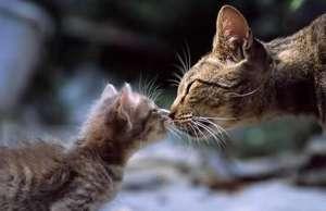 猫咪生育后怎么照顾